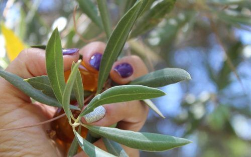 aceite de oliva cancer de mama
